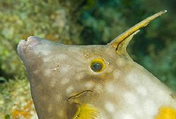Whitespotted Filefish. Nikon D100 with 60mm lens. by Jim Chambers 